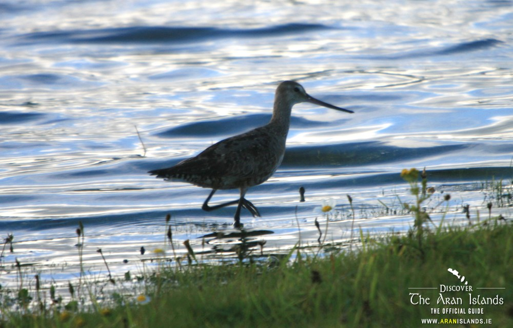 Sightings of the Hudsonian Godwit at Kilmurvey – September 17th 2015