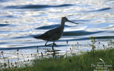 Sightings of the Hudsonian Godwit at Kilmurvey – September 17th 2015