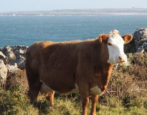 Cattle Performance on the Aran Islands – Feidhmíocht Beithigh ar na hOileáin Árann